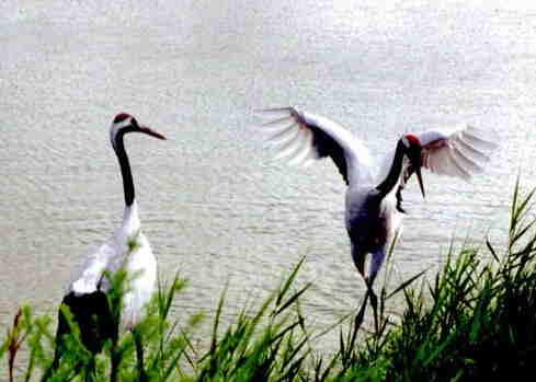 中国湿地报告:丹顶鹤的乡愁
